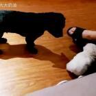 瞧老二这出息😂在家的狠劲儿呢?#宠物##奶家军#