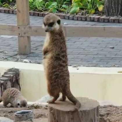 #宠物##逛拍##大兴野生动物园#獴哥