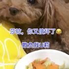 #汪星人##宠物#莎拉,你又使坏了😂,莎拉U莉吃的混合蔬菜链接http://item.taobao.com/item.htm?id=560414098353 都是我自己亲手做的😘😘
