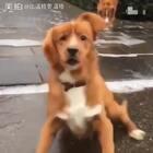 动物 の 搞笑大合集,心疼汪星人,你们就是欺负人家腿短!#搞笑##宠物#