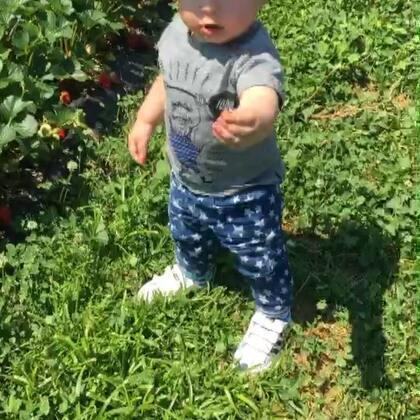 採草莓記(無農藥可直接吃,好甜好新鮮)寶寶ㄧ口接一口😆😆😆