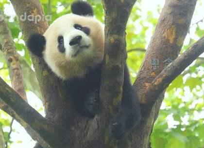 #萌团子日常##大话熊猫# 川普小妹魔性洗脑神曲再度来袭,请调高音量再点击播放哦 😏