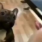 #狗狗日记##宠物狗狗##可爱#好可爱😳