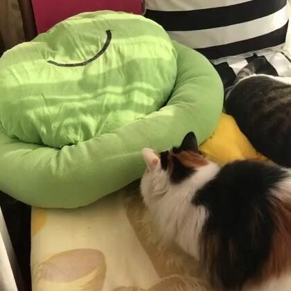 #宠物#我莎打猫都不带快进⏩的,因为速度与快进没差😆👍(肉肉在垫子下面,知道肉肉在里面,莎莎就逮住机会狠狠打😒)
