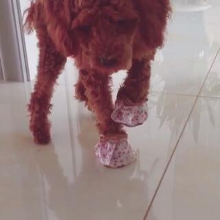 #宠物穿鞋大挑战#看看这个鞋子怎么样?😂😂
