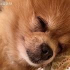 😲😲所以睡一会儿 就把腿翘起来 睡一会儿 就把腿翘起来🤔这是什么节奏 我看不懂😂#宠物##坚强的仔仔##15秒萌宠晒睡姿#
