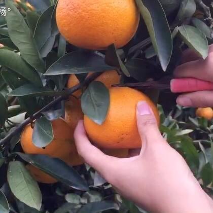 #美食#每年秋冬季我们临海最有名的涌泉蜜桔就上市了,舅舅家的桔子也成熟了,下午大家伙一起去摘桔子去,桔子和桔子皮都可以吃的哦,视频中我做的是桔皮糖和冰糖桔子,有爱吃的小伙伴吗?这次我没有配乐,用的是原声,多少有些杂音,不知你们是喜欢原声还是有配乐?😁#我要上热门##地方美食#