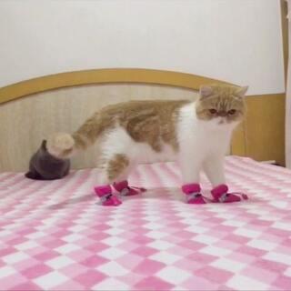 穿鞋子的滑稽三宝,yomi秒变青蛙🐸,身上的肥肉都在抖😂miumiu和mina个个爪爪甩甩甩💨#宠物穿鞋大挑战##宠物#