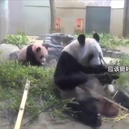 熊猫妈妈,享受美食的时候突然想起了自己还有个娃。。还好虚惊一场!😅😂