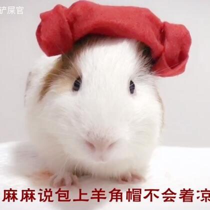 分享一只洗完泡泡浴的美猪😘😘😘#荷兰猪##宠物#给小豚鼠洗澡的奥义有二:1.耳朵不要进水。2.及时吹干。