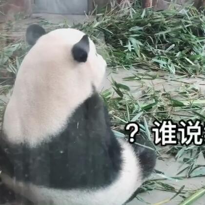 哈哈超萌的大熊猫~最后面那只去挑衅人家吃东西,后来被按住 想跑了 哈哈哈🐼