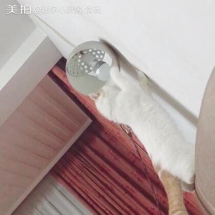 #猫咪# 小短腿蹬蹬蹬向你跑来(刚出门带它洗完澡回家 牵引绳还没解) 19去HK✌️
