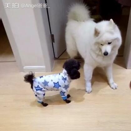 楼上邻居来串门,有点不太友好啊…#宠物##萨摩耶#