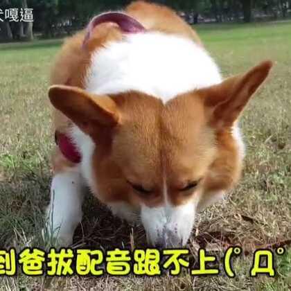 人家可以怒吃高麗菜,我只能吃土啃樹葉(吐到爸拔來不及台語配音) #柯基犬嘎逼##萌宠##寵物#