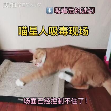 """新的猫抓板到了,还送了一小袋猫薄荷……艾露吸食""""毒品""""后神经错乱,症状不轻,场面已经控制不住了!#宠物##喵星人##日常吸猫#"""