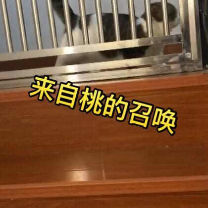 喂浪儿,结果桃在楼上喊我😂它怎么知道我在喂白浪~#宠物##奶家军#