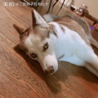 """拉布拉卡不爱我了 躺地上耍赖 问她是不是不高兴 她说""""嗯……""""#狗狗##哈士奇##搞笑#"""
