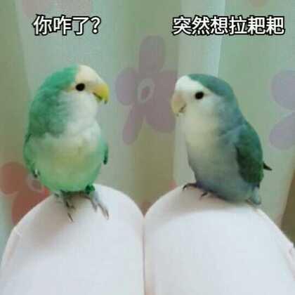 豆丁拉耙耙记,为了不拉在麻麻身上,硬是坐立不安😂#牡丹鹦鹉##宠物##精选#