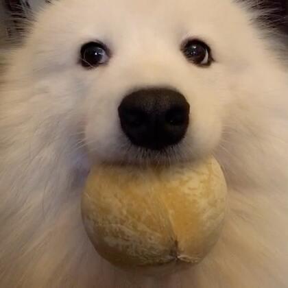 世界上最遥远的距离就是刁到嘴里米不能吃!#宠物##汪星人#