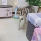 养了一条小雪狼!😊😊😊