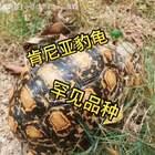 """#宠物#今天看见邻居竟然在养乌龟🐢!这种龟学名""""豹龟"""",很少见哦🙆🙆"""
