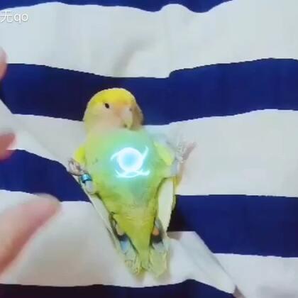鹦鹉游戏#宠物##精选##牡丹鹦鹉#