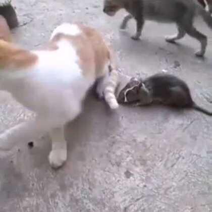 猫被老鼠吓尿了 😂😂😂😂😂😂