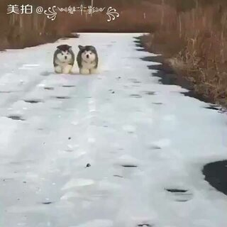 #宠物##阿拉斯加##魅影#熊版阿拉斯加小狗萌吧😄