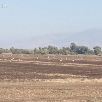 以色列候鸟的天堂胡拉谷地(hula valley)世界著名的候鸟迁徙中转站之一,以色列国家自然保护园。到以色列来旅游的宝宝们不容错过😊
