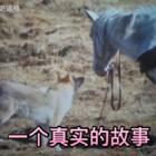 这是一个真实发生的故事:四川野生动物女画家李微漪,收养了一只狼崽,取名格林。有一次,她在野外崴到了脚,接着童话般的一幕发生了:格林竟然为她牵来了一匹马!