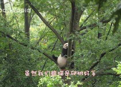 #也就才看二十遍# 为什么熊猫下树难?因为我们大度啊!