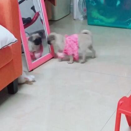 傻狗 镜子里找自己 看一下镜子 跑后面看一下 最后看着看着屎意来袭 😭😭😭#宠物##巴哥犬#