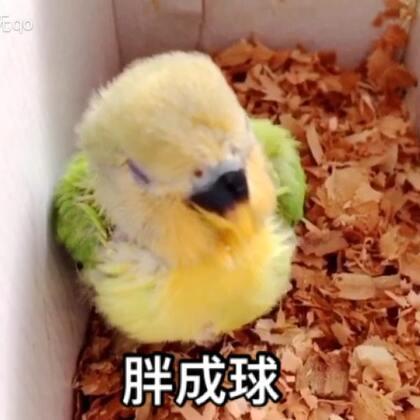 胖成球#精选##宠物##宝宝#