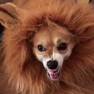 """(⊙o⊙)哇!狮子""""汪""""来了!威武霸气啊!😍#柯基小短腿##家有萌宠##我要上热门#@美拍小助手"""