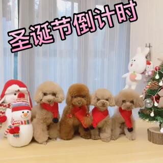 #宠物##圣诞节#四个小可爱已经准备好迎接圣诞节🎄啦…今年谁陪你们过呢😄四个宝贝依旧陪着丘麻。