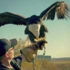 实拍机场驯鹰人用5千年古术训鹰,用猎鹰驱鸟,保证飞行安全#二更视频##奇闻趣事##我要上热门#