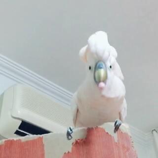 一只鹦鹉如果不想让他拆家就给他买玩具,当然也不乏拆家玩具两不误的鹦鹉,比如六爷……谁抢他玩具跟谁急!ps谁再吐槽我家门就友尽😣#宠物##么派六一#