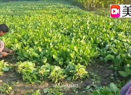 这个印度家庭有50口人,他们一顿饭要吃100斤新鲜青菜!看样子还蛮好吃的!😃😃😃