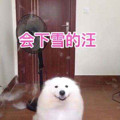 一到换毛季家里就会下起雪!!!#宠物##精选##汪星人#