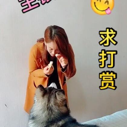 #宠物##哈士奇不二#我们二哈艾伦其实一点都不二😂是那种傻萌傻萌的赶脚😂这都是平时宠物顾问的教导有方👍那些养狗宝宝猫咪的粑粑麻麻们,对那些不听话挑食让人烦恼的问题、你们可以加VX:douchai4725 都可以帮你们一一解决!@美拍小助手