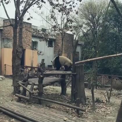 哈哈哈哈哈熊猫宝宝太萌啦