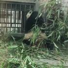 像素略渣,看看熊猫吃秀表演