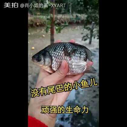 在奶奶家快要干涸的池塘里捞出很多鱼,其中一条很特别,没有尾巴,顽强的生命力!估计是被鸭子吃掉了尾巴!继续养着吧!#我要上热门#@美拍小助手