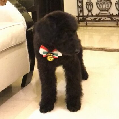 ZuZu为了明天的surprise 打扮漂亮点😊...腿跟Naomi的腿一样长🙈😂#寶寶##狗狗#