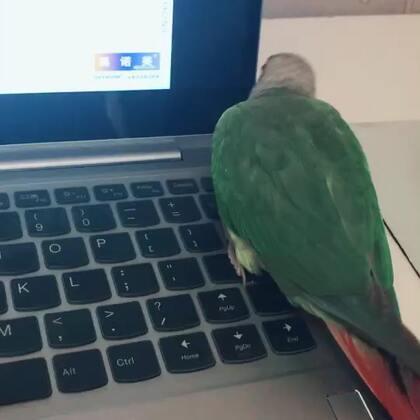 很烦人的鸟-小恐龙。#宠物##我的宠物萌萌哒##小太阳鹦鹉小哥哥和妹妹#
