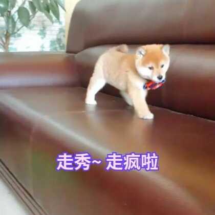 #美拍维密秀##精选##柴犬#