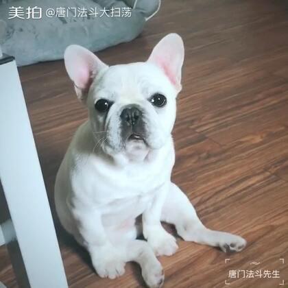 小白,你有没有听见妹妹又哭啦!#精选##宠物##法国斗牛犬##唐门法斗先生##极品法斗#