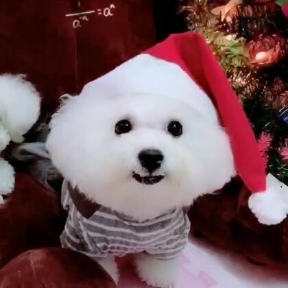 #宠物##汪星人##我的宠物萌萌哒#圣诞节漏发的视频😂😂😂陪伴我们在美拍度过两个圣诞节的圣诞树丢了🎄🎄明年宝宝们记得提醒我买个超大的哦😘😘😘拉勾勾约好明年圣诞节我们还在一起😚😚😚