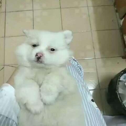 #宠物#我的小可爱 - 萌宠视频 - 牙套妹卡米i的美