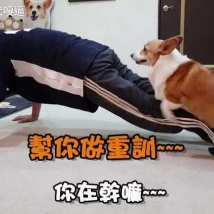 國外流行狗狗深蹲挑戰,爸拔跟嘎逼也收到挑戰了,這兩個人默契到底如何呢?(老爸褲子破了是怎樣啦)#柯基犬嘎逼##萌宠##柯基犬#